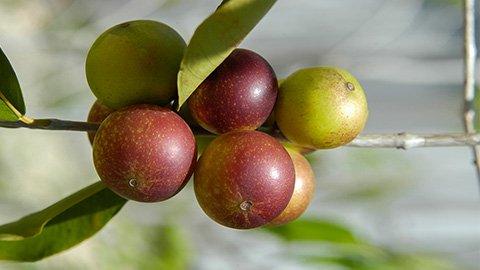 Camu Camu Frucht