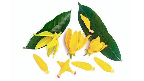 Ylang-Ylang Blüten
