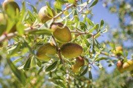 Das Öl der gelben Früchte wird für Arganöl Kosmetik verwendet