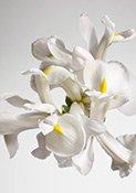 Dior Homme Cologne trägt Iris im Herzen
