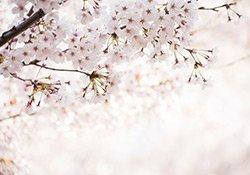 Baum mit Kirschblüten