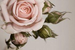 die frischen Akkorde der Rose machen das Parfüm so angenehm riechend